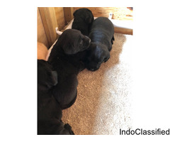 Beautiful Kc Labrador Puppies