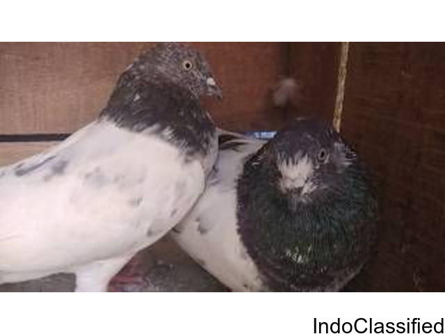 For Sale healthy breeding pair (Ambarsira)