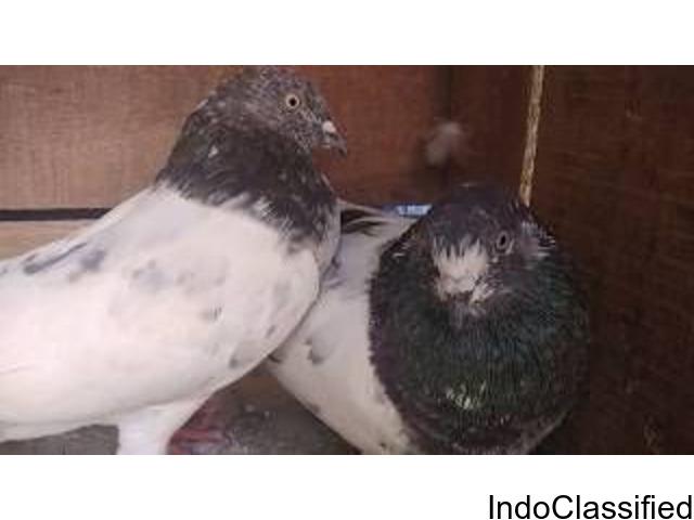 For Sale healthy breeding pair (Ambarsira)