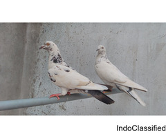 Lal chini breeding pair for sale