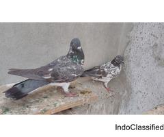Chapdaar chaprey breeding pair for sale