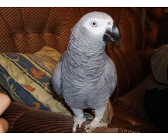 Female African Grey With Cage