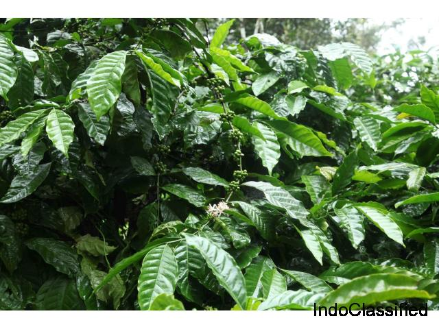 Well maintained coffee estate for sale