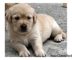 Labrador Puppies For Sale..