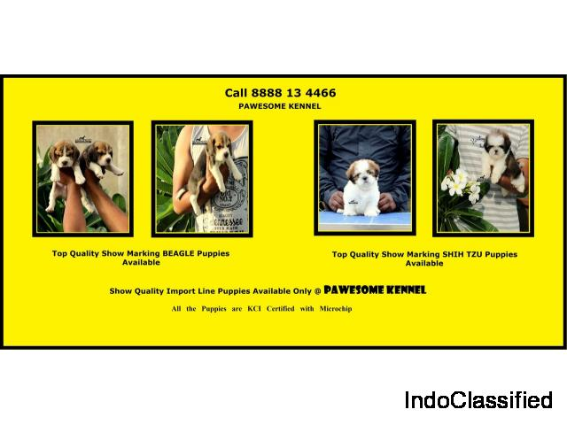 Show Quality Champion Bloodline BEAGLE and Shih Tzu Puppies for Sale in Mumbai