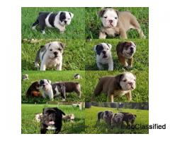 AKC Miniature Bulldogs