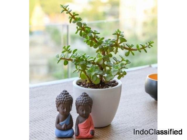 Wealth Boomer Jade Plant: Succulent Plant