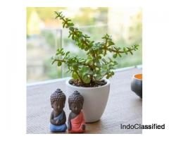 Wealth Boomer Jade Plant: Succulent Plant