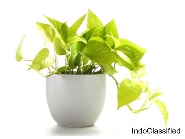 Money Plant Scindapsus