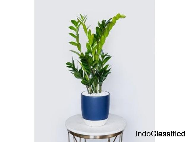 ZZ PLANT: AROID PALM (Air Purifier)