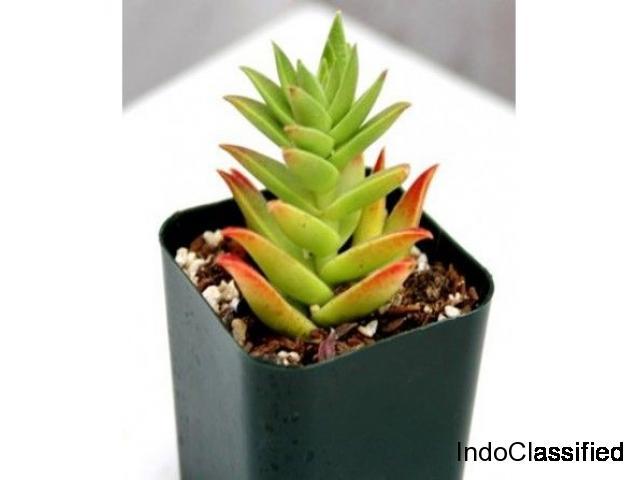 Crassula Campfire (Lucky Plant): Succulent Plant