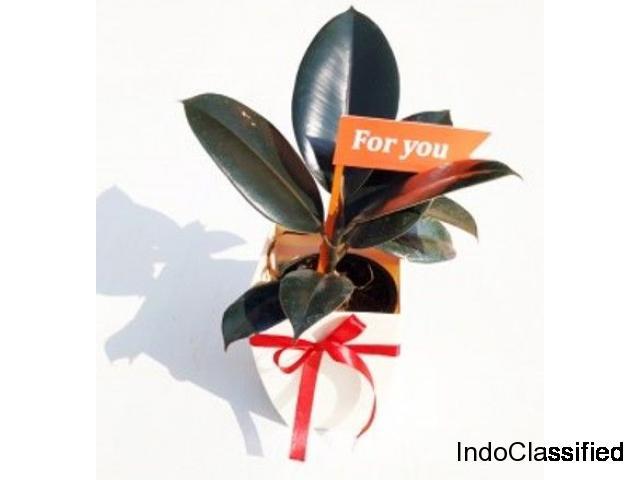 RUBBER PLANT: Auspicious, Wealth Boomer &Air Purifier