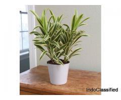 Pleomele, Song of India (Golden) – Plant