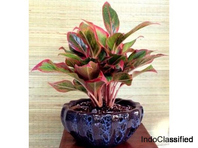 Aglaonema lipstick - Plant