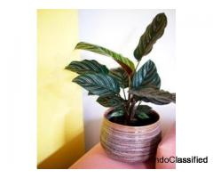 Calathea ornata pinstripe, Calathea ornata (Pink stripes) - Plant