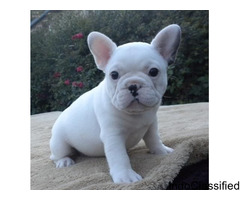 PUREBRED FRENCH BULLDOG PUPPIES,PERFECT SIZE and AWESOME BODY for sale in Los Angeles, California
