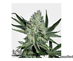 WHITE WIDOW MARIJUANA SEED