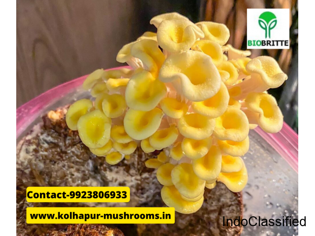 Oyster mushroom business in Satara