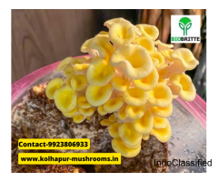 Oyster mushroom business in Satara