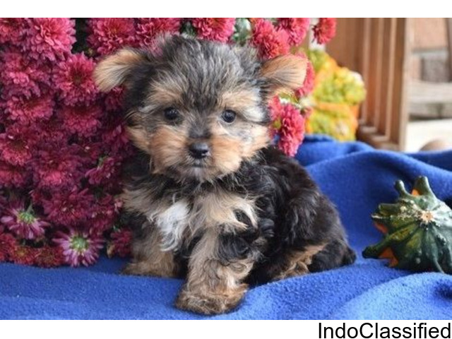 Amazing Cutie Yorkshire Terrier Puppies Available For Sale