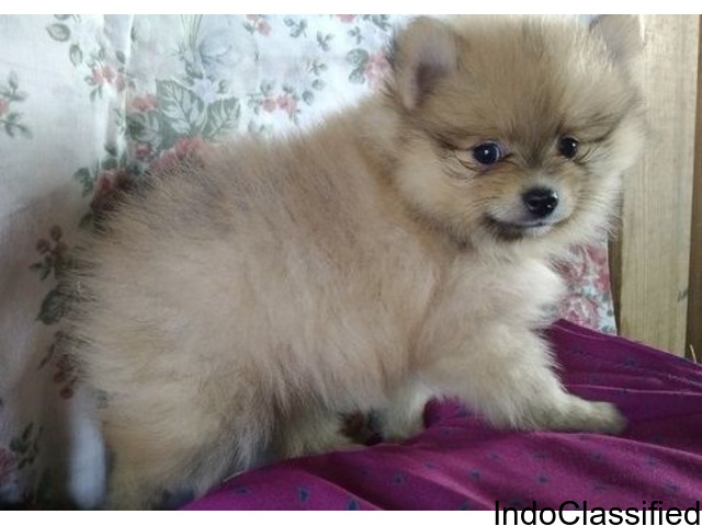Gorgeous Teacup Pomeranian Puppies Well Socialize