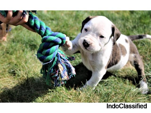 American bulldogs puppies