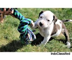 American bulldogs puppies