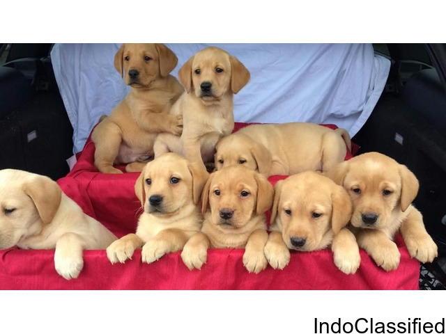 Adorable Retrievers for sale