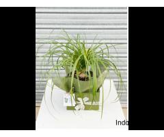 buy indoor plant online in Australia