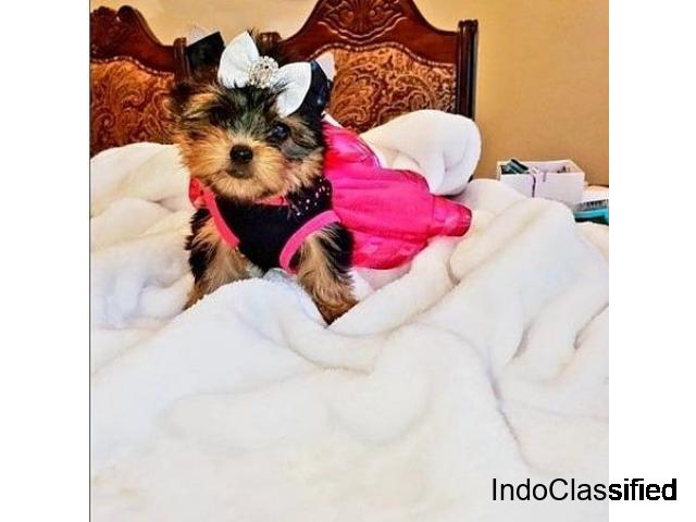 Most Charming and Adorable Yorkie Puppies