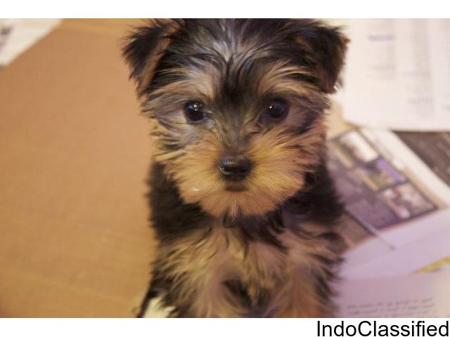 njbh lovely Yorkshire Terrier Pups