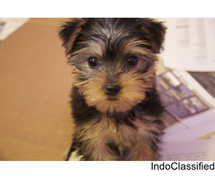 njbh lovely Yorkshire Terrier Pups