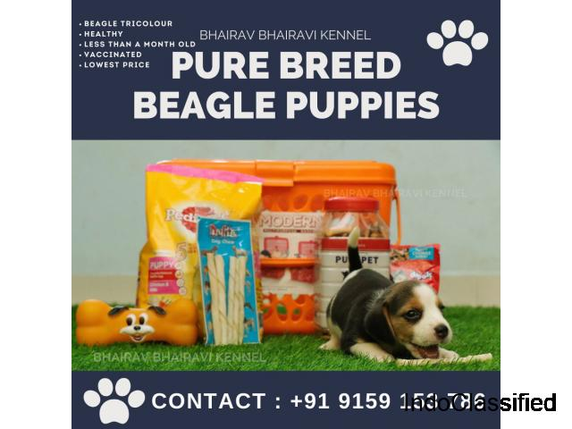 Bhairav Bhairavi Kennel - Pure Breed Beagle Puppies for Sale Near Chennai