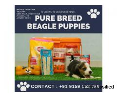 Bhairav Bhairavi Kennel - Pure Breed Beagle Puppies for Sale Near Chennai