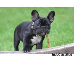 All types Dog Puppies (French bulldog) and Accessories available..7300930479