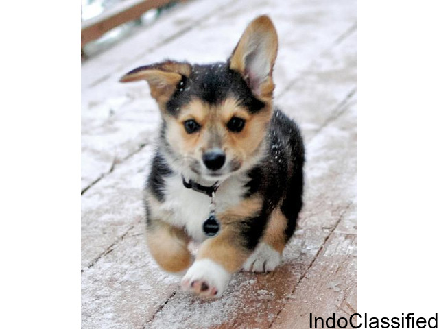 Outstanding Male And Female Pembroke Welshi Corgis Puppies For Sale