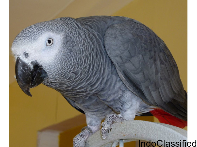 Well Tamed African Grey Parrots Text(571-775-1061)